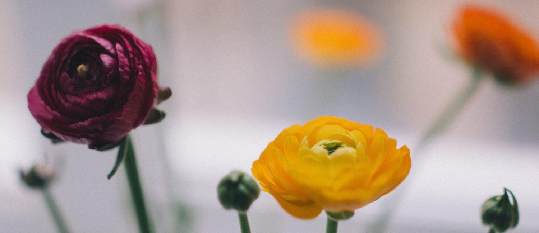 Close up of ranunculus flowers.