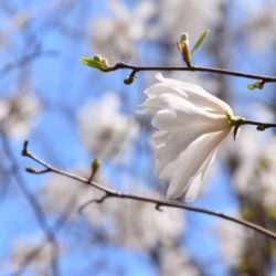 Whites flowers on blue background.