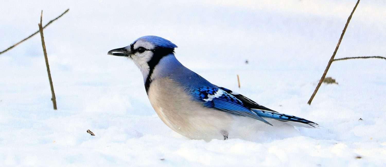 Blue Bird in the snow.