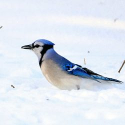 Blue Bird in the snow.