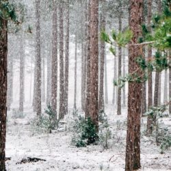 Trees in forest with snow.