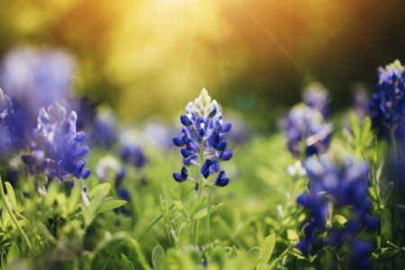 Bluebonnets in field.