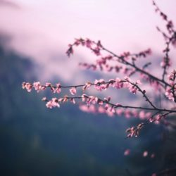 Purple blossoms against sky