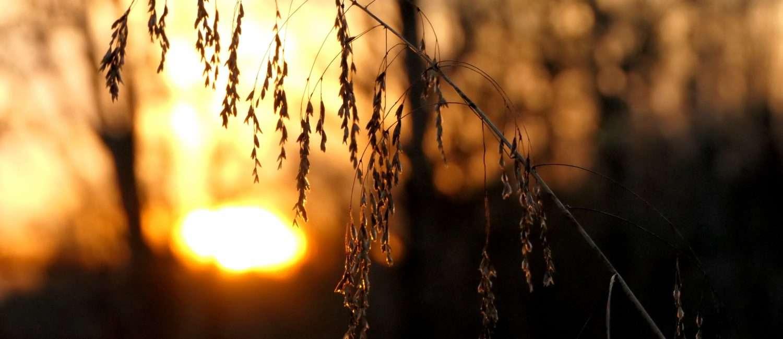 sunset behind plants