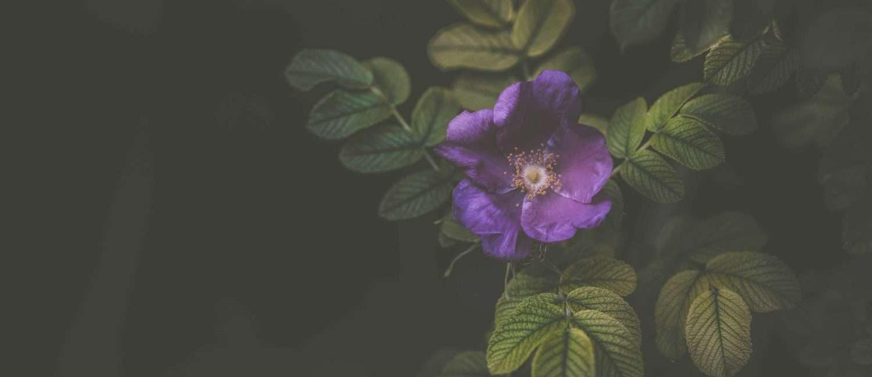 purple flower on dark background