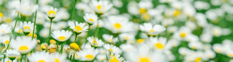 Daisies in field.